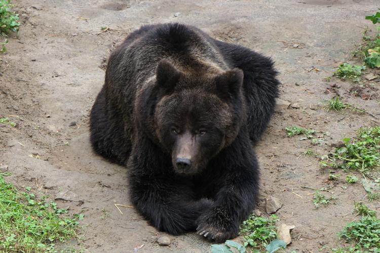 Niedźwiedzie na Roztoczu